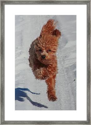 Snow Dog Framed Print by Diane Merkle