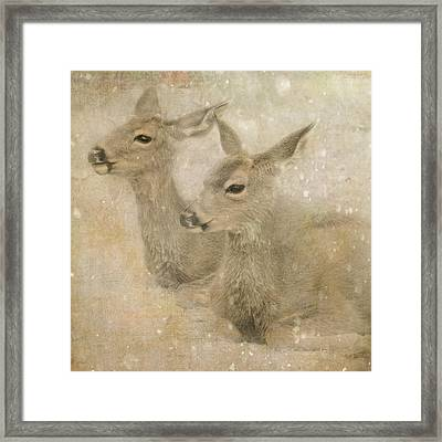 Snow Fawns Framed Print