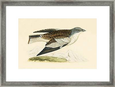 Snow Finch Framed Print