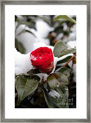 Snow Flower Framed Print by Maureen Norcross