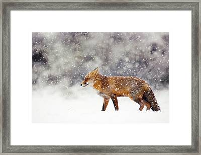 Snow Fox Series - Red Fox White Out Framed Print