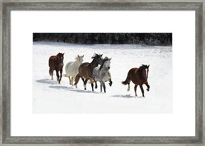 Snow Gallop Framed Print