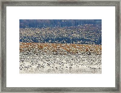 Snow Geese At Willow Point Framed Print