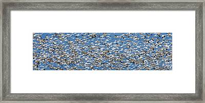 Snow Geese Framed Print by Ed Book