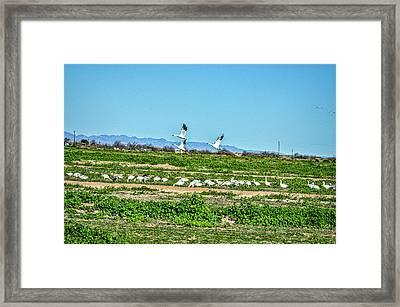 Snow Geese Feeding Framed Print