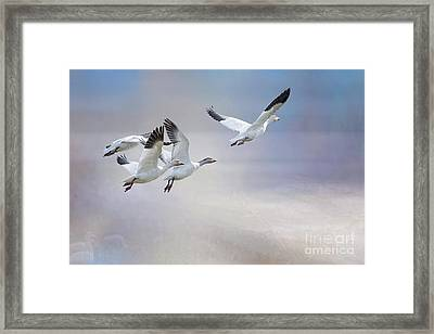 Snow Geese In Flight Framed Print by Bonnie Barry