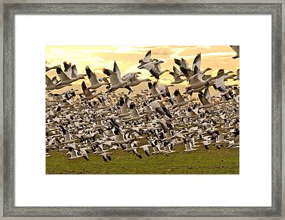 Snow Geese In Flight Framed Print by Craig Perry-Ollila