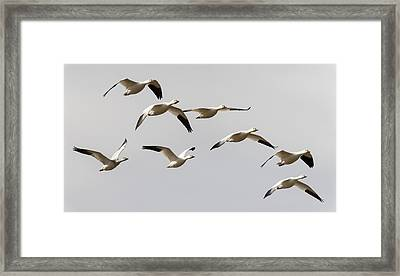 Snow Geese In Flight Framed Print by Loree Johnson
