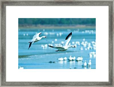 Snow Geese Framed Print by Jerry Weinstein