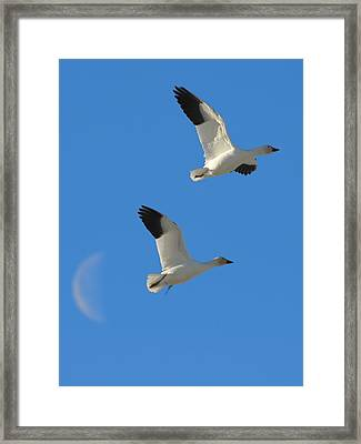 Snow Geese Moon Framed Print