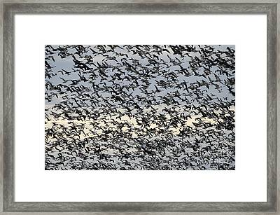 Snow Geese Spring Migration Framed Print by Bob Christopher