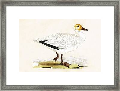 Snow Goose Framed Print by English School