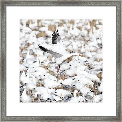 Snow Goose Lift-off Framed Print