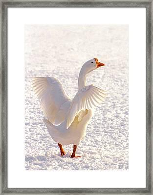 Snow Goose Framed Print