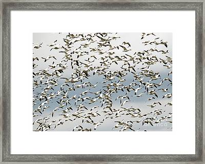 Snow Goose Storm Framed Print by Mike Dawson