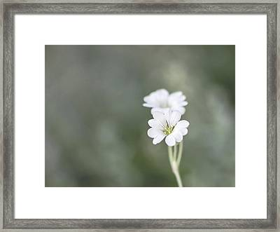 Snow In Summer Framed Print