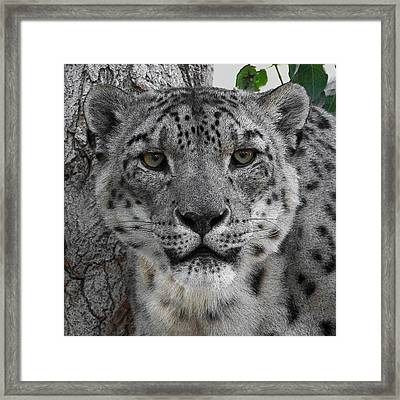 Snow Leopard 5 Posterized Framed Print by Ernie Echols
