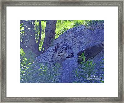 Snow Leopard Camouflage Framed Print by Phil Banks