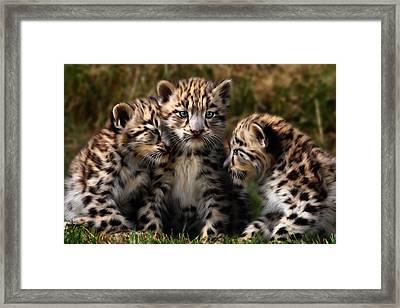 Snow Leopard Cubs - Closeup Framed Print by Julie L Hoddinott
