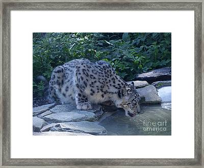 Snow Leopard Drinking Framed Print by Phil Banks
