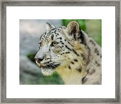 Snow Leopard Portrait Framed Print by Yeates Photography