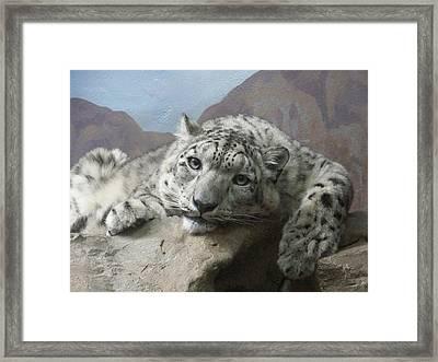 Snow Leopard Relaxing Framed Print by Ernie Echols