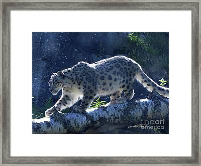 Snow Leopard Walk Framed Print by Phil Banks