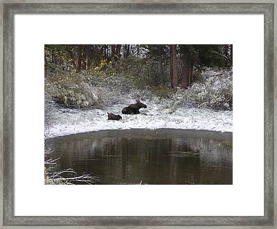 Snow Moose Framed Print by David Wilkinson