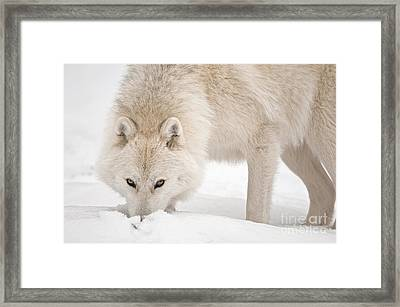Snow Nose Framed Print