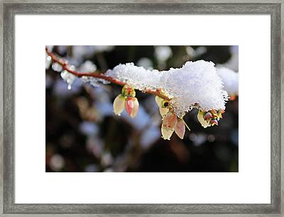 Framed Print featuring the photograph Snow On Blueberry Blossoms by Kristin Elmquist