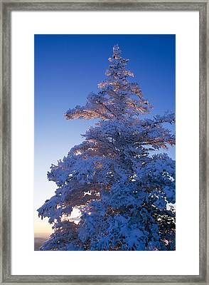 Snow On Pine Tree Framed Print