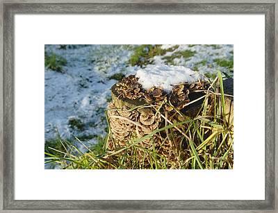 Snow On Stump With Bark Fungus Framed Print