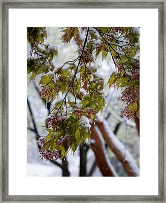 Framed Print featuring the photograph snow on the Cherry blossoms by Chris Flees