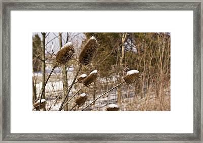 Snow On The Seed Cones Framed Print by Douglas Barnett