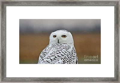 Snow Owl Strare Framed Print