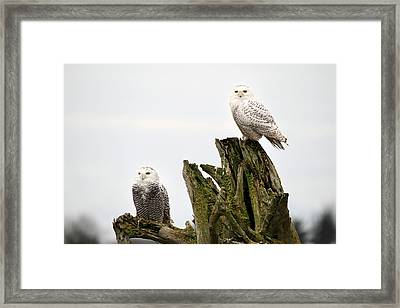 Snow Owls Of Boundary Bay Framed Print by Pierre Leclerc Photography
