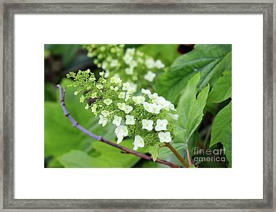 Snow Queen Hydrangea Framed Print