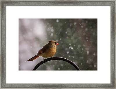 Snow Showers Female Northern Cardinal Framed Print by Terry DeLuco
