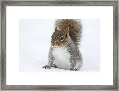 Snow Squirrel Framed Print by Karol Livote