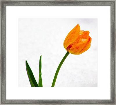 Snow Tulip Framed Print by Dennis Wagner