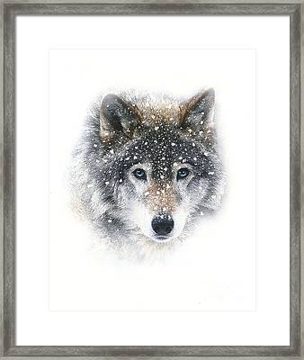 Snow Wolf Framed Print by Robert Foster