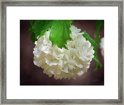 Snowball Bloom Framed Print