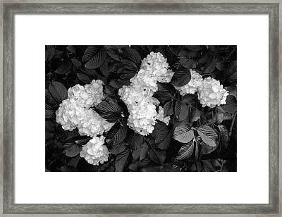 Snowball Bush Framed Print by Tom Mc Nemar