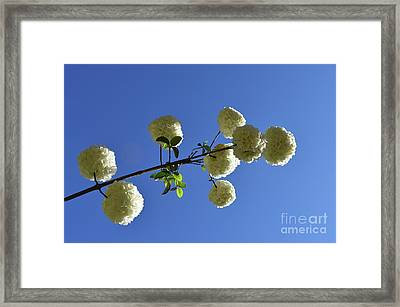 Framed Print featuring the photograph Snowballs On A Stick by Skip Willits