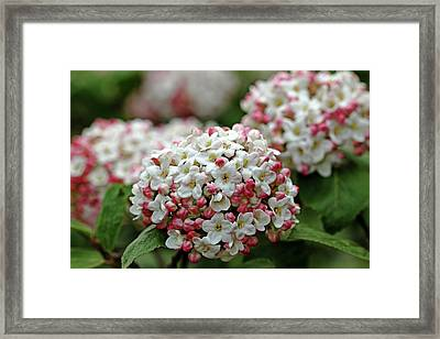Snowballs With Flush Of Pink Framed Print