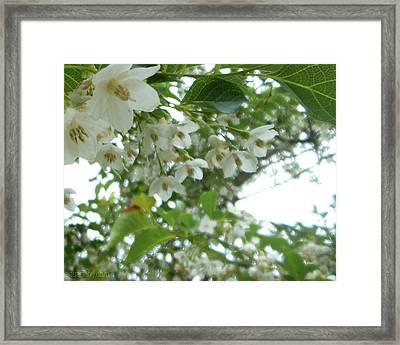 Snowbell Sparkles In Spring Framed Print