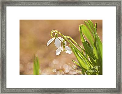 Snowbell With Dew Drops Framed Print by Christine Amstutz