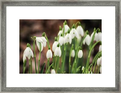 Snowdrop Framed Print by Martin Newman