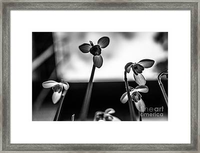 Snowdrops Standing Tall Framed Print