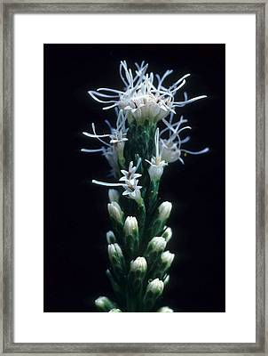 Snowflake Flower Framed Print by Laurie Paci